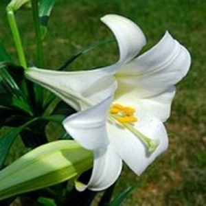 Easter Lily - Lily Toxicity in Cats