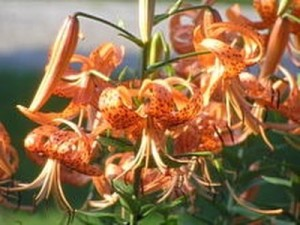 Tiger Lily - Lily Toxicity in Cats